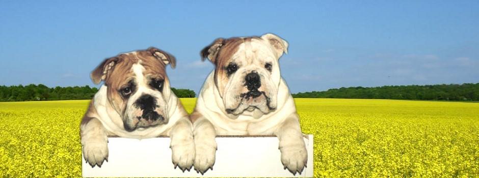 club de race bulldog anglais